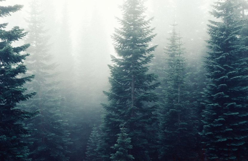 forest-trees-fog-foggy