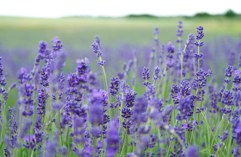 peaceful-lavender-field