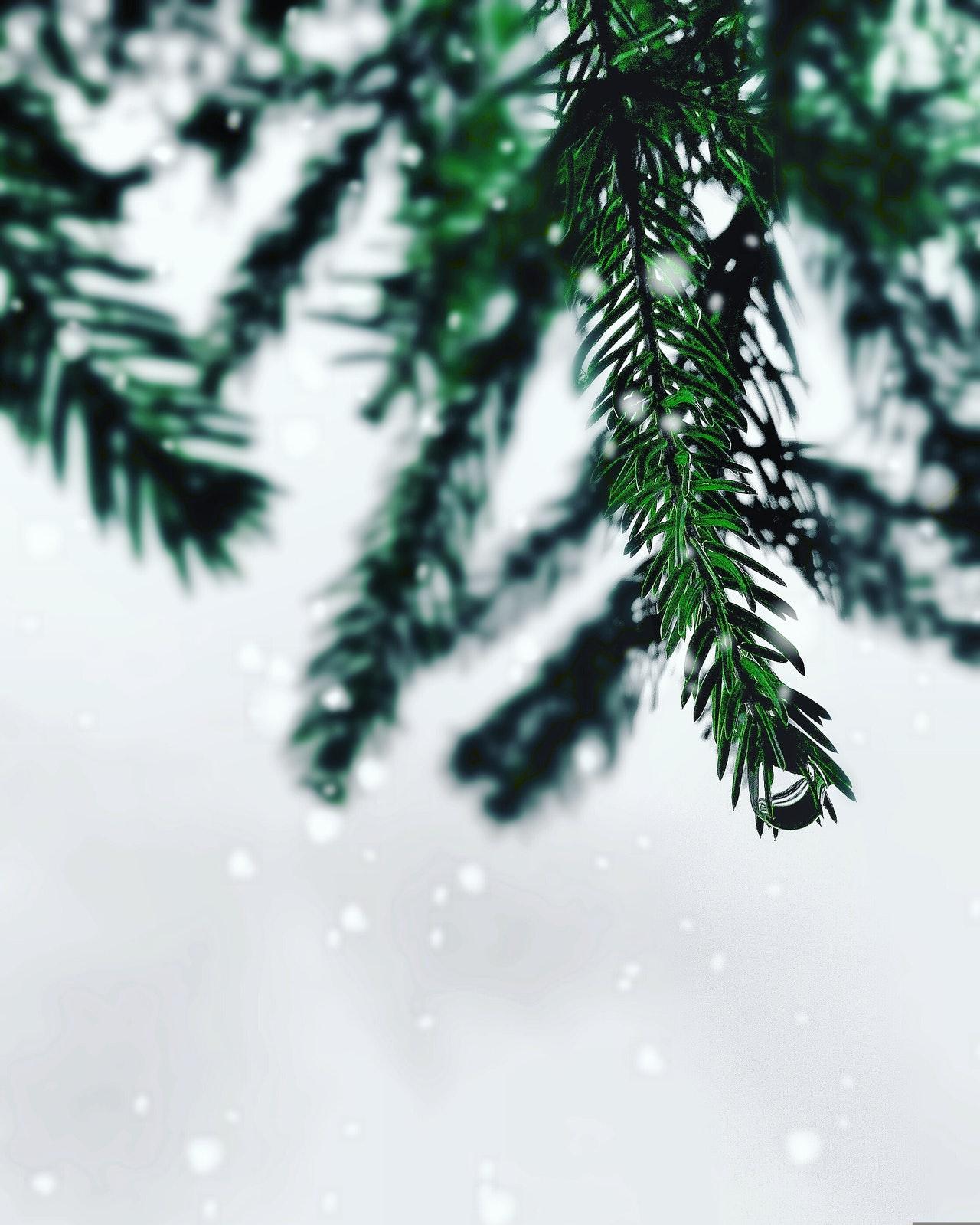 evergreen-pine-needles-in-snow