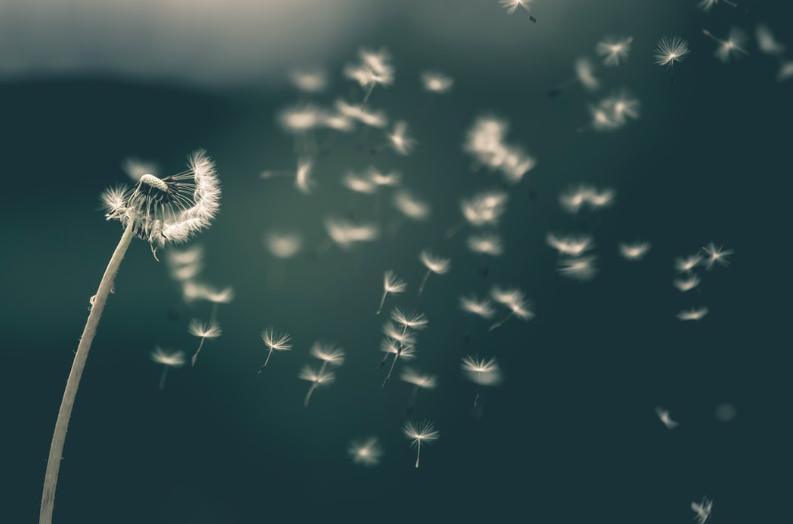 dandelion-blowing-in-the-wind